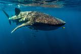 A Juvenile Golden Trevally Swims Ahead of a Feeding Whale Shark