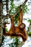 An Orangutan Hangs from a Tree Branch at the Borneo Orangutan Survival Cente
