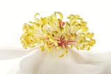 A Camellia Stamen