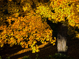 An Oak Tree  Quercus Species  with Colorful Leaves in Autumn