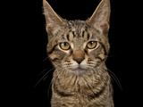A Studio Portrait of a Brown Tabby Cat