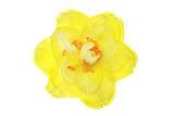 A Daffodil Blossom