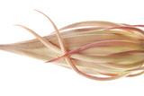 Hylocereus Undatus Bud
