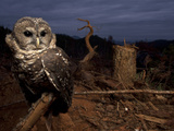 A Federally Threatened Northern Spotted Owl in a Fresh Clear Cut