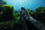A Marine Iguana Feeds on Algae That Covers Lava Rocks