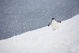 Portrait of a Chinstrap Penguin  Pygoscelis Antarctica  in a Snow Shower