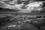 Lionesses and cubs from the Vumbi lion pride rest on a kopje, a rocky outcrop. Papier Photo par Michael Nichols