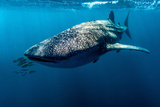Yellowtail Fusilier Swim in Front of a Filter Feeding Whale Shark