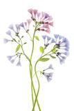 Virginia Bluebell Flower Blossoms