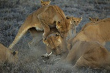 A Pride of Female Lions Take Down a Warthog They Have Dragged from its Burrow