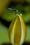 A Swift Long-Winged Skimmer Perches on an Unopened Fragrant Waterlily in a Pond in Virginia