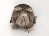 A Tawny Frogmouth Owl, Podargus Strigoides, at the Fort Worth Zoo Papier Photo par Joel Sartore