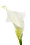 A Calla Lily