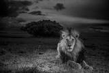 A Dark-Maned Male Lion known as C-Boy Papier Photo par Michael Nichols