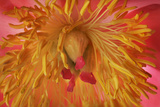 A Camellia Flower