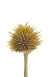 A Coneflower