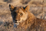 Portrait of a Young Lion  Panthera Leo  Resting in Golden Sunlight