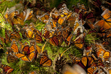 Monarch Butterflies  Danaus Plexippus  Drinking from Wet Grasses Along a Mountain Stream