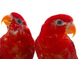 A Pair of Red Lories  Eos Bornea  at the Indianapolis Zoo