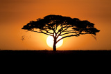 A Silhouetted Acacia Tree  Acacia Species  at Sunset