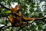 An Orangutan in a Tree at the Borneo Orangutan Survival Center in Nyaru Menteng