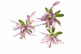 Azalea Flower Blossoms