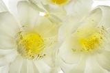 Hylocereus Undatus in Bloom