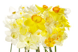 Daffodil Blossoms