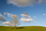 A Lone Sycamore Tree in a Grass Meadow