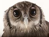 Verreaux's Eagle Owl  Bubo Lacteus  at Zoo Atlanta