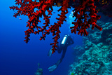 A Scuba Diver Swims Past a Bright Red Sea Fan on a Coral Reef Wall