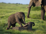 Two African Elephant Calves  Loxodonta Africana  Playing Near a Grazing Adult Elephant