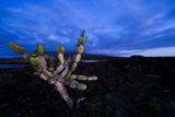 Candelabra Cactus at Sunset