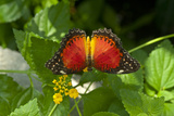 A Red Lacewing Butterfly Alights on a Plant with Small Yellow Flowers