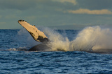 A Humpback Whale Breaches in the Pacific