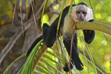 A White-Headed Capuchin  Cebus Capucinus  in Costa Rica's Manuel Antonio National Park