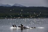 Birds Cluster over a Pod of Humpback Whales Bubble Net Feeding in the Inside Passage