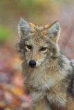 Portrait of a Coyote  Canis Latrans  Fallen Leaves in Autumn
