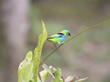 A Green Headed Tanager on a Branch