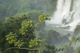 A Black Vulture  Coragyps Atratus  Resting on a Branch Near a Waterfall in Iguacu Falls