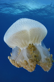 Portrait of a Thysanostoma Thysamura Jellyfish