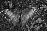 A Dead Blue Morpho Butterfly  Morpho Peleides  Covered in Dew