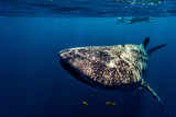 Golden Trevally Swim Near the Mouth of a Whale Shark Looking for Food