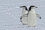 Chinstrap Penguins  Pygoscelis Antarcticus  on the Aitcho Islands