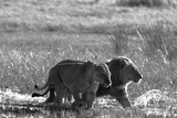 A Lion and Lioness  Panthera Leo  Walking Side by Side Through Flooded Grasses