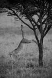 A Cheetah  Acinonyx Jubatus  Leaps Down from the Trunk of a Small Tree in the Savanna