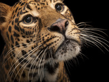 A Federally Endangered African Leopard  Panthera Pardus Pardus  at the Houston Zoo