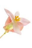 A Begonia Flower Blossom
