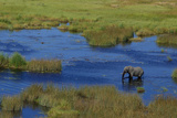 Aerial of an African Elephant  Loxodonta Africana  Standing in a Channel of Water