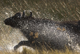 A Panicked African Buffalo  Syncerus Caffer  Running Through and Splashing Water